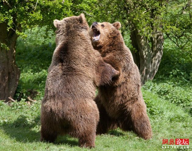 棕熊和老虎谁厉害