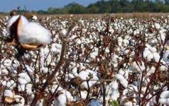 棉花种植概念股