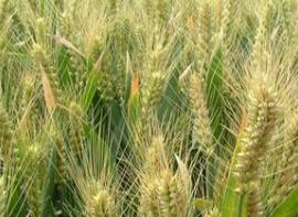 小麦种子概念股