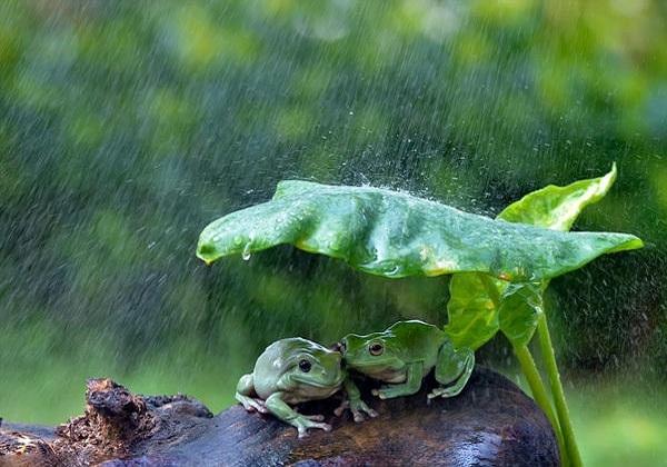 萌化了!印尼两青蛙拿树叶当雨伞避雨