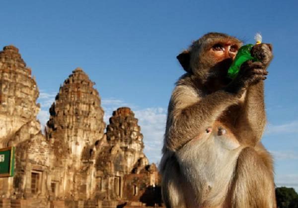 泰国举行猴子自助餐节 猴群享美食戏游客