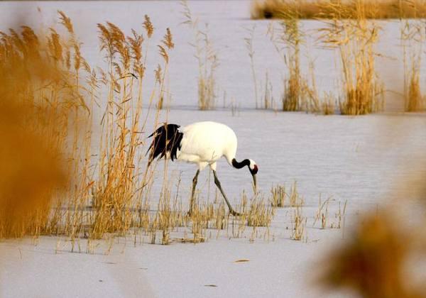 甘肃戈壁湿地现丹顶鹤 雪地觅食成一景