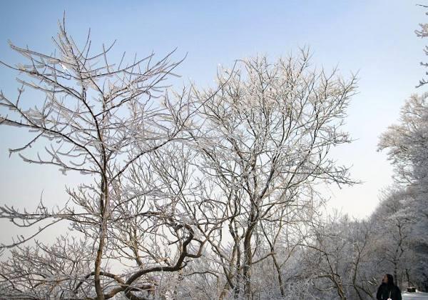 气温骤降后 南京紫金山现迷人雾凇
