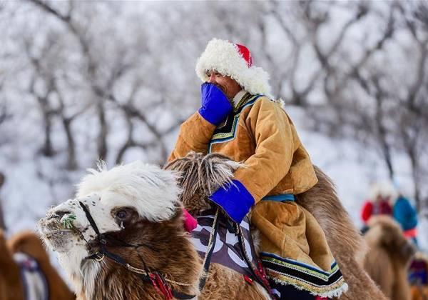 内蒙古雪域草原赛骆驼 牧民着民族盛装