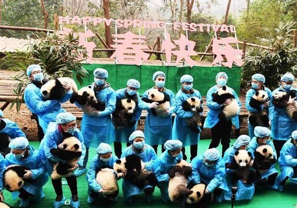"""成都""""熊猫天团""""再聚齐 向全球人民送福"""