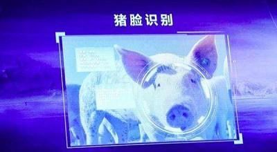"""京东也养猪了 建智能养猪场可""""猪脸识别"""""""