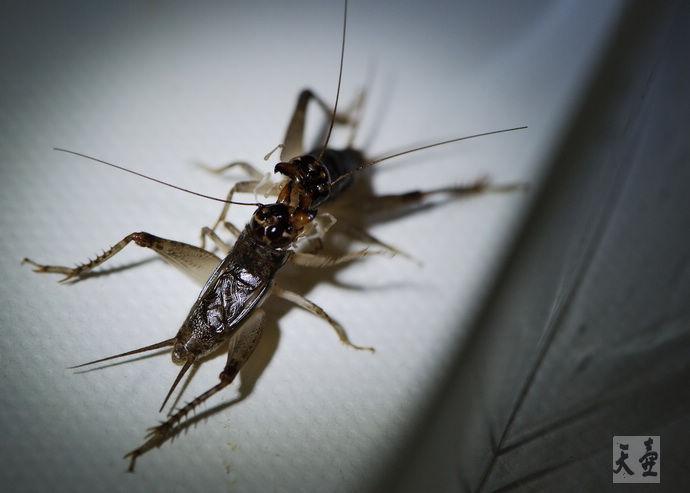 凤凰印像:斗蟋的记忆