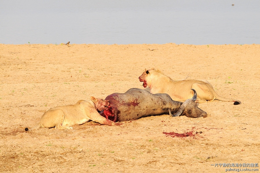 撒哈拉沙漠的狮子捕野牛动物世界图片