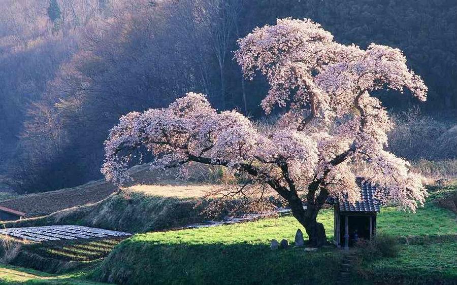 又是樱花季 日本最美樱花