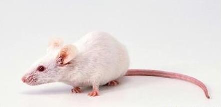 刚出生的小老鼠(活的)一盘
