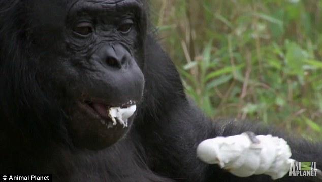 猩猩自己找木材,生火,烤棉花糖