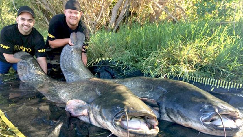 据德国《图片报》9月3日报道,日前,两名来自德国黑森州(Hessen)的男子在西班牙埃布罗河(Ebro)捕鱼时有了巨大收获:他们在20分钟内接连抓住两条鲇鱼,它们的体长都超过2米。