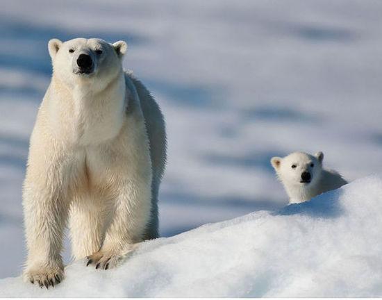 北极熊其实非常可爱,尤其是在小的时候,有这样一种白白胖胖的动物做