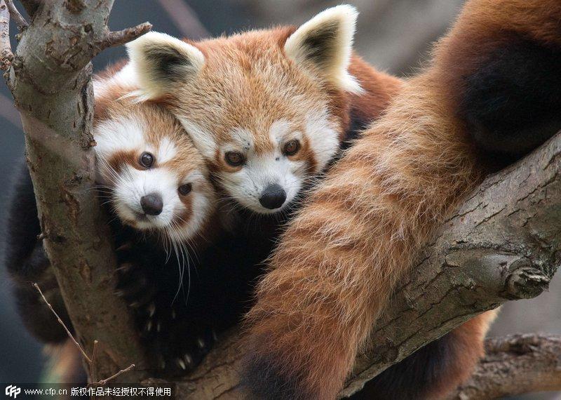 当地市立动物园里两只四个月大的小熊猫幼崽pim和