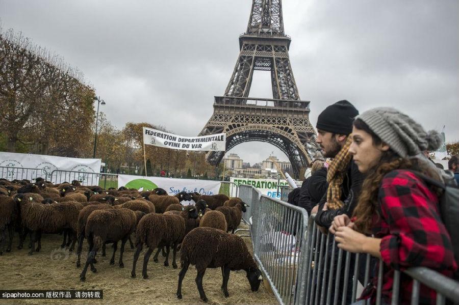 法国巴黎,法国农民带绵羊在埃菲尔铁塔附近抗议