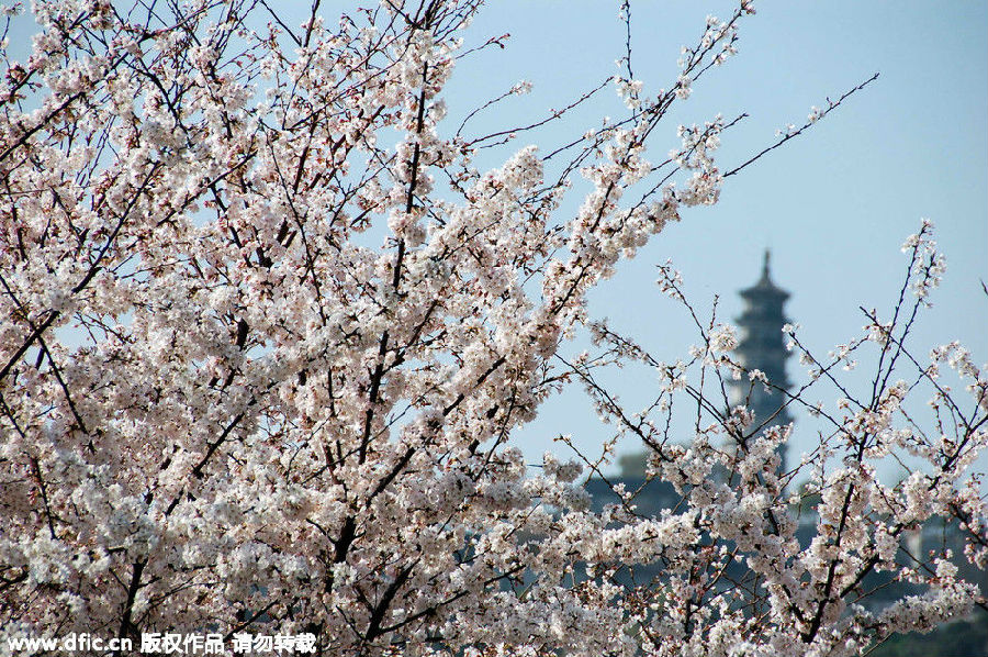 在苏州赏樱花,最好的地方就是上方山,穹窿山和苏州花卉植物园的樱花