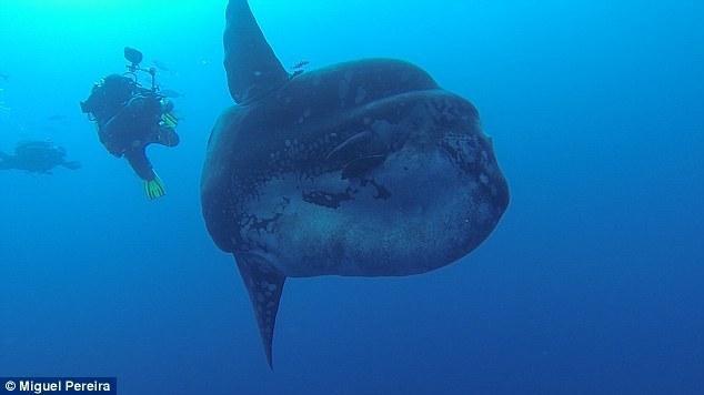 翻车鱼属硬骨鱼纲,分布栖息于热带,亚热带海洋,也见于温带或寒带海洋
