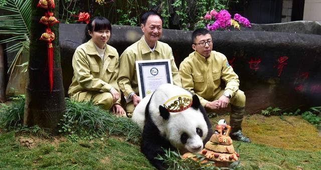 """37岁""""巴斯""""贺岁庆典 获最长寿圈养大熊猫世界纪录"""