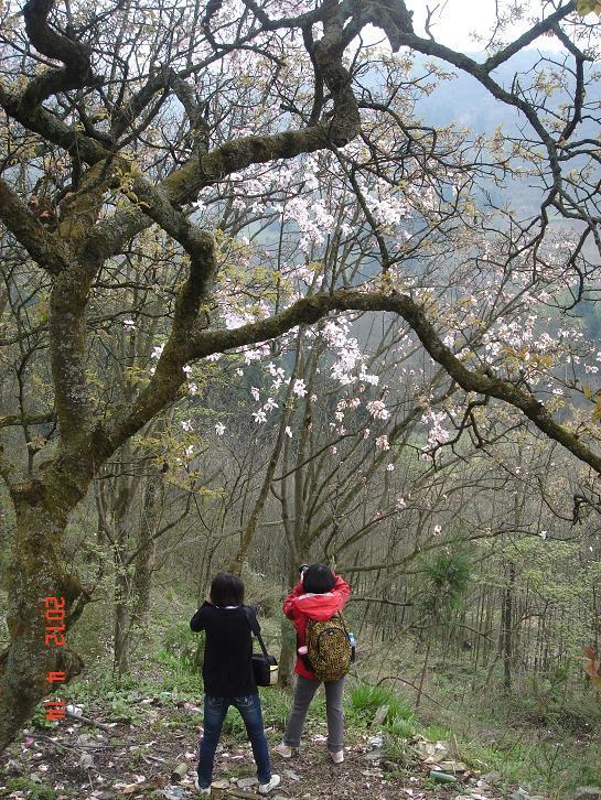 欣赏漫山遍野的辛夷花 - 阳忠 - 阳忠博客