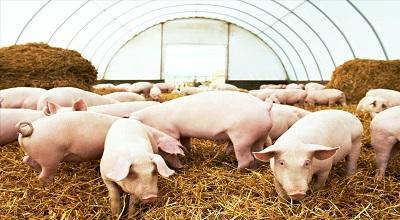 """""""吃肉自由""""来了?猪价跌破每斤10元"""